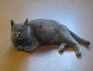 Беременность британских кошек