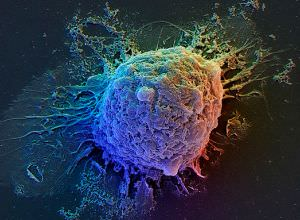 Выращена печень из стволовых клеток