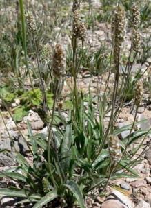 блошиная трава